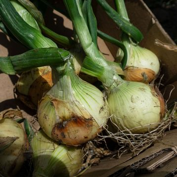 Балстар F1 семена лука озимого (Seminis)