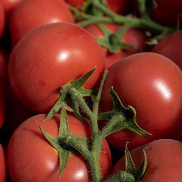 Ладженда F1 семена томата индет. среднераннего 105-115 дн. окр.-припл. 180-200 гр. роз. (Syngenta)