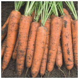 Бангор F1 (1,8-2,0мм) семена моркови Берликум средней 110 дн (Bejo)
