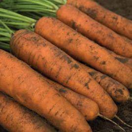 Белградо F1 семена моркови Берликум PR (1,6-1,8 мм) (Bejo)
