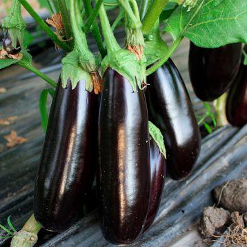 Честер F1 (ES Chester F1) семена баклажана раннего 95-110 дн. 250-400 гр. 18-25см удл.-цил. (Ergon seeds)