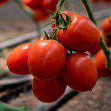 КС 3819 F1 (KS 3819 F1) семена томата индет. раннего 105-115 дн. слив. 100-120г (Kitano Seeds)