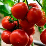КС 301 F1 (KS 301 F1) семена томата индет. раннего 105-115 дн. окр.-прип. 180-200г красный (Kitano Seeds)