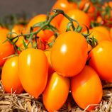 КС 1430 (KS 1430) F1 семена томата индет. раннего слив. желт. 100-120 г (Kitano Seeds)