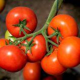 КС 21 F1 (KS 21 F1) насіння томата індет. раннього окр. 180-200г (Kitano Seeds)