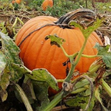 Коннектикут Филд семена тыквы средней 110-115дн 4-6кг окр. (Свитязь)