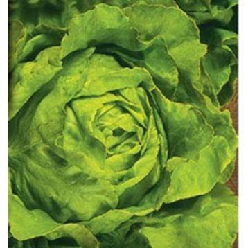 Ларавера семена салата тип Маслянистый (Свитязь)