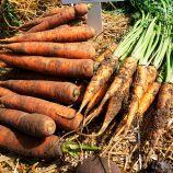 Харизма F1 семена моркови (Moravoseed)