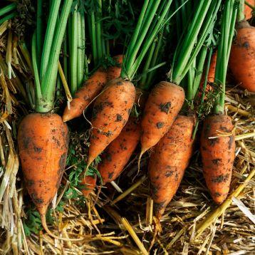 Кнота F1 семена моркови Нантес ранней 95-100 дн (Moravoseed)