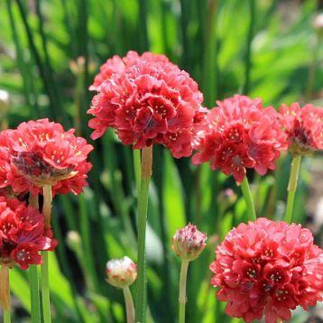 Балерина красная семена армерии (Pan American)