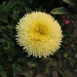 Арлекин желтый семена астры на срез однол. (Satimex)