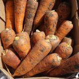 Абако F1 (Abaco F1) (2,4-2,6) семена моркови Шантане ранней 90-95 дн. (Seminis)