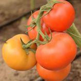 Абелус F1 насіння томату індет. ранній 160-180 гр. (Rijk Zwaan)