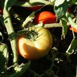 Белла Роса F1 насіння томата детермінантного (Sakata)