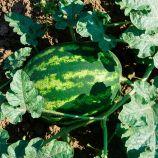 Варда F1 семена арбуза тип кр.св. раннего 70 дней 10-13 кг овал. (Hazera)