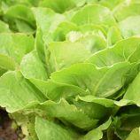 Викторинус семена салата тип Ромэн зел. дражированные (Rijk Zwaan)