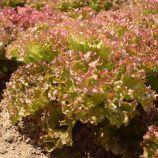 Вилбур семена салата тип Лолло Росса темно-красного (Double Red) дражированные (Rijk Zwaan)