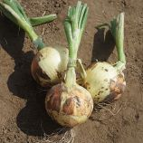 Дарика F1 (Daryka F1) семена лука репчатого раннего (Cora Seeds)