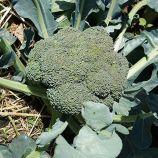 Эос F1 семена капусты брокколи ранней 65-70 дн. 0,5-0,7 кг (Sakata)