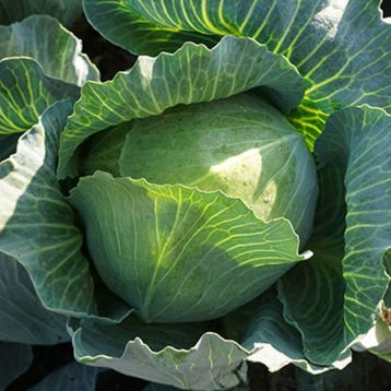 Зенон F1 семена капусты б/к поздней (Syngenta)