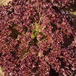 Кармези насіння салату тип Лолла Росса дражоване (Rijk Zwaan)