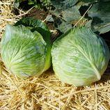 ТRC-2 (Коронет) F1 семена капусты б/к среднепоздней (Sakata)