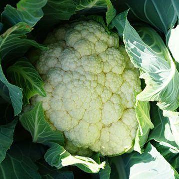 Лекану F1 (Ликану F1) семена капусты цветной средней 75-80 дн. 2-2,5 кг бел. (Syngenta)