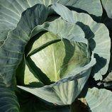 Лексикон F1 семена капусты среднепоздней (Syngenta)