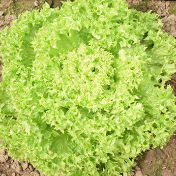 Лозано семена салата тип Лолло Бионда дражированные (Rijk Zwaan)