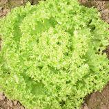 Лозано семена салата тип Лолло Бионда зел. дражированные (Rijk Zwaan)