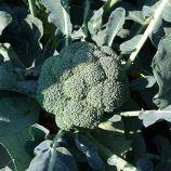Монако F1 семена капусты брокколи средней 75-80 дн. 1,5-2 кг (Syngenta)