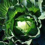 Монро F1 семена капусты б/к среднепоздней 100-110 дн. 2,2-4,5 кг окр. (Sakata)