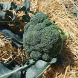 Нексос F1 (Наксос F1) семена капусты брокколи средней 75-80 дн. 0,4-0,8 кг (Sakata)