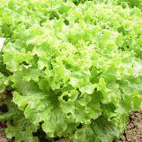 Патишн семена салата тип Батавия (Rijk Zwaan)