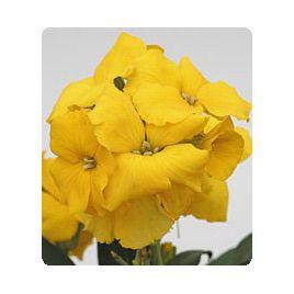 Абсолют Yellow семена желтофиоля (Kitano Seeds)