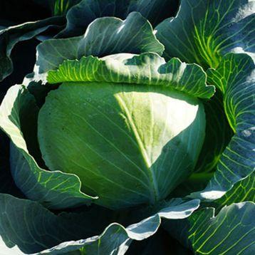 Сторидор F1 семена капусты б/к поздней 130-135 дн. 3,2 кг окр. (Syngenta)