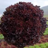 Бахус семена салата тип Лолло Росса (Vilmorin)