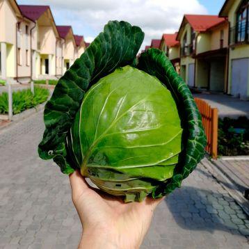Хом Ран F1 семена капусты б/к ранней 50-5 дн. 1,3-1,7 кг (Joeun Seeds)