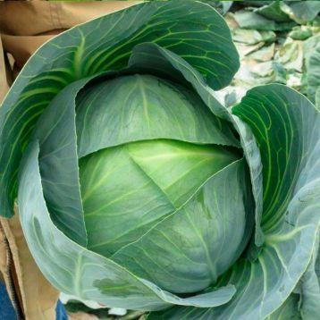 Корсума F1 семена капусты б/к среднеспелой 90-110 дн. 3-5 кг (Rijk Zwaan)