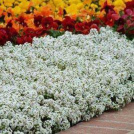 Кристалл белый семена алиссума (лобулярии, каменника) однол. (Pan American) НЕТ ТОВАРА