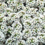 Кристалл белый (white) семена алиссума (лобулярии, каменника) однол. (Pan American)