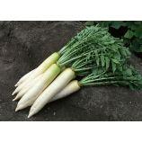 Дракон семена редьки Дайкон средней 50-60 дн. 250-400 гр. (GL Seeds)
