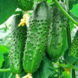 Новый Нежинский F1 семена огурца пчелоопыл среднего 45-50 дн 8-10 см (GL Seeds)