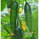 Емеля F1 семена огурца партенокарп раннего 40-45 дн 14-23 см (GL Seeds)