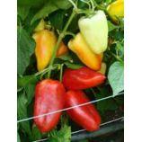 Алексій насіння перцю солодкого типу Венгерський раннього 110-115 дн 160-180 гр 7-8 мм крем/красн (GL Seeds)