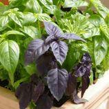 6 ароматов смесь семена базилика (GL Seeds)