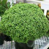 Греческий семена карликового базилика зеленого (Anseme)