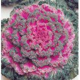 Нагойя F1 красная семена капусты декоративной (Sakata)