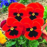 Красный кардинал F1 семена виолы (GL Seeds)