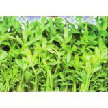 Афродита семена кресс-салата раннего 15-20 дн. зел. (GL Seeds)